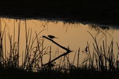 Sunbird in zonsondergang Royalty-vrije Stock Afbeeldingen
