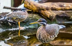 Sunbittern bird standing in the water, tropical birds from the amazon basin of America. A Sunbittern bird standing in the water, tropical birds from the amazon stock photos