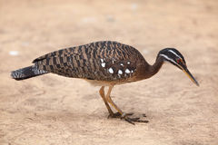 Sunbittern Eurypyga helias. Royalty Free Stock Photography