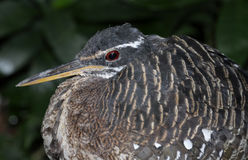 Sunbittern Face Royalty Free Stock Photo