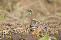 Sunbittern on river bank Royalty Free Stock Photo