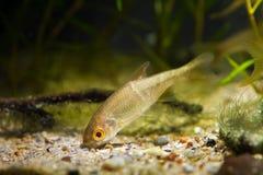 Sunbleak moderato del pesce di acqua dolce, leucaspius delineatus, ricerche di alimento sul fondo della sabbia in acquario del bi fotografie stock
