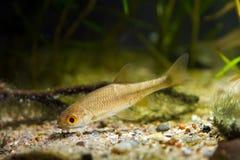 Sunbleak moderato del pesce di acqua dolce, leucaspius delineatus, ricerche di alimento vicino al fondo della ghiaia in acquario  fotografie stock libere da diritti