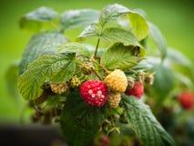 Sunburn on raspberry fruit Stock Image