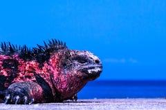 Sunburned игуана Стоковое Фото