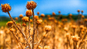 Sunburned thistles. A field of dead sunburned thistles on a beach in the summer Royalty Free Stock Images