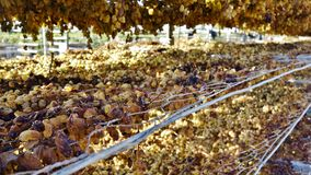 Sunburnt Grapes. Stock Photo