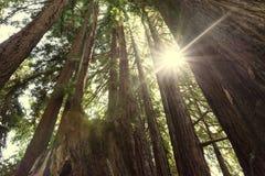 Sunburst światło słoneczne w gaj redwoods drzewa w Redwood parku narodowym obraz stock