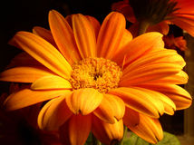 Sunburst. A Chrysanthemum flower with bright orange blooms under a warm color light Stock Photo