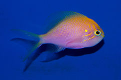 Sunburst Anthias. The Fathead Sunburst Anthias also known as Fathead Anthias, is a colorful fish, predominantly pink, with heavy yellow-to-orange scale margins royalty free stock photo