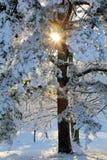 Sunburst através da árvore nevado