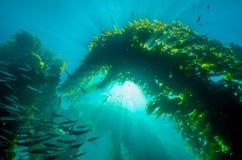 Sunburst através da floresta da alga de Califórnia fotos de stock