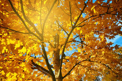 Sunburst through autumn leaves Royalty Free Stock Photography