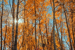 Sunburst Through Autumn Trees Stock Photo