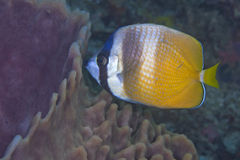 Sunburst Butterflyfish feeds on sponge Stock Photography