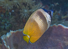 Sunburst Butterflyfish Stock Photo