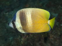 Sunburst butterflyfish Royalty Free Stock Images