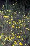 Sunburst Coreopsis Royalty Free Stock Photos