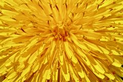 Sunburst Dandelion zdjęcia stock
