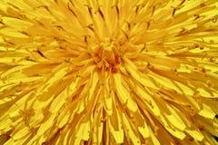Sunburst Dandelion. A macro type closeup of a dandelion displays as a sunburst Stock Photos