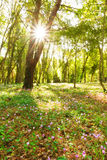Sunburst forest Royalty Free Stock Photography