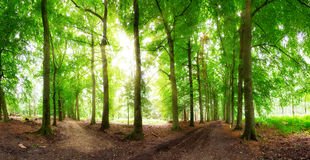 Sunburst forest panorama. Beautiful wide angle panorama in the forest with the sun bursting through the trees in the Netherlands Stock Images