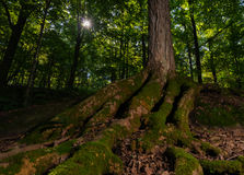 Sunburst in the Forest Royalty Free Stock Photography