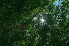 SUNBURST THROUGH GREEN FOLIAGE. A view of a shiny sunburst peering through dense green foliage and branches Stock Photo