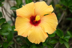 Sunburst Hibiscus. Beautiful yellow and red hibiscus on a sunny day Stock Photography