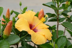 Sunburst Hibiscus. Beautiful yellow and red hibiscus on a sunny day Royalty Free Stock Image