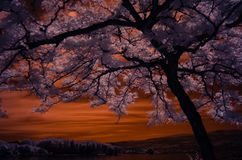 Sunburst honey loctus tree shot in infrared with pinkish leaves with a golden sky over the background mountain stock photos