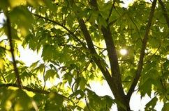 Sunburst liścia tło Obrazy Royalty Free
