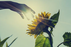 Sunburst over a sunflower with a hand touching it royalty free stock images