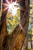 Sunburst Peeking Through Old tree in Forest Royalty Free Stock Photos