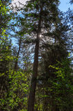Sunburst przez drzew zdjęcie royalty free