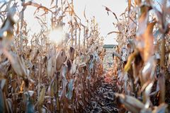 Sunburst through rows of dried maize plants Royalty Free Stock Images