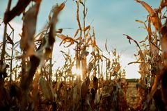 Sunburst through rows of dried maize plants Royalty Free Stock Photography