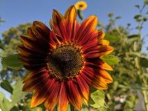 Sunburst słonecznik zdjęcie royalty free