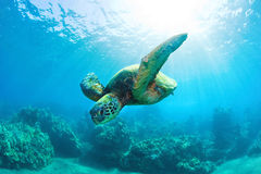 Sunburst sea turtle Royalty Free Stock Photos