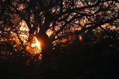 SUNBURST SOM SES TILL OCH MED FILIALER AV AFRIKANEN BUSH PÅ SOLUPPGÅNG arkivfoto