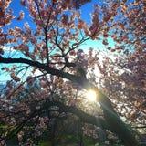 Sunburst till och med de körsbärsröda blomningarna Royaltyfri Foto