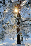 Sunburst till och med snöig träd Arkivbild