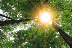 Sunburst and tree Stock Image