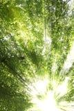 Sunburst through trees stock image