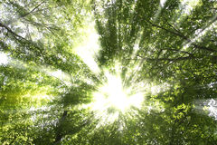 Sunburst through trees Royalty Free Stock Image