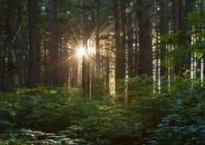 Sunburst through Trees. Stock Photos