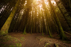 Sunburst through trees Royalty Free Stock Images