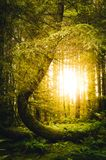 Sunburst through trees. In woodland in England Royalty Free Stock Image