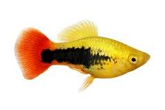 Sunburst tuxedo platy male Xiphophorus variatus tropical aquarium fish stock image