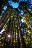 Sunburst w Muir drewien Krajowym zabytku - Młyńska dolina, CA Fotografia Royalty Free